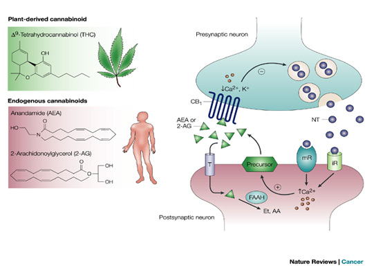 The Endocannabinoid System and Stress-Related Psychiatric Illness ...